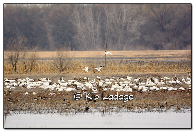 Snow Geese and Greater White-fronted Geese at Big Marsh - Image 362140
