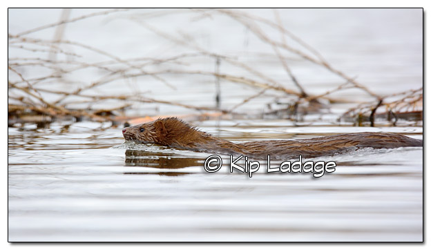 Swimming Mink - Image 363507