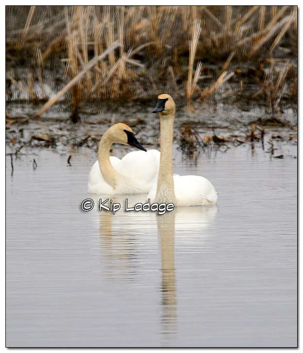 Trumpeter Swans at Sweet Marsh - Image - 363580