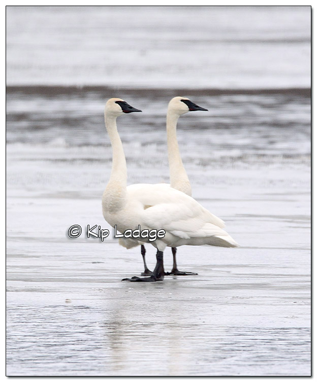 Trumpeter Swans at Sweet Marsh - Image 358386