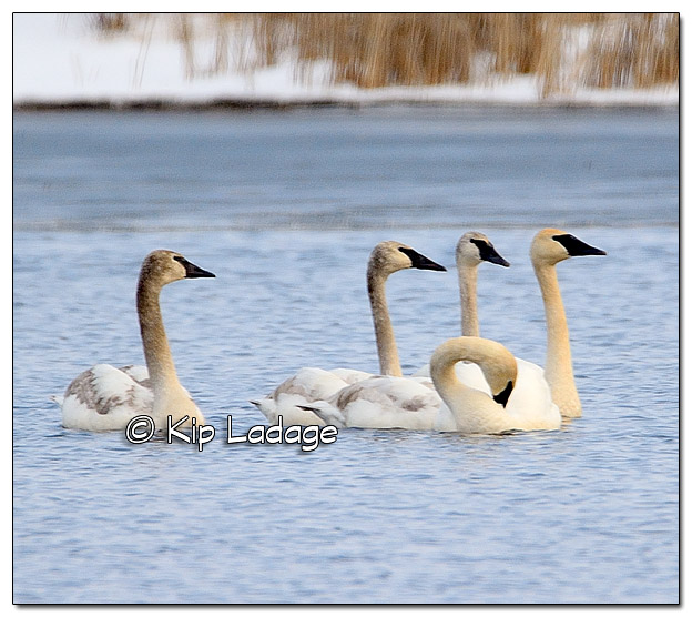 Trumpeter Swans at Sweet Marsh - Image 359236
