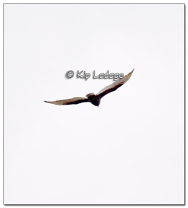 Turkey Vulture - Image 363104