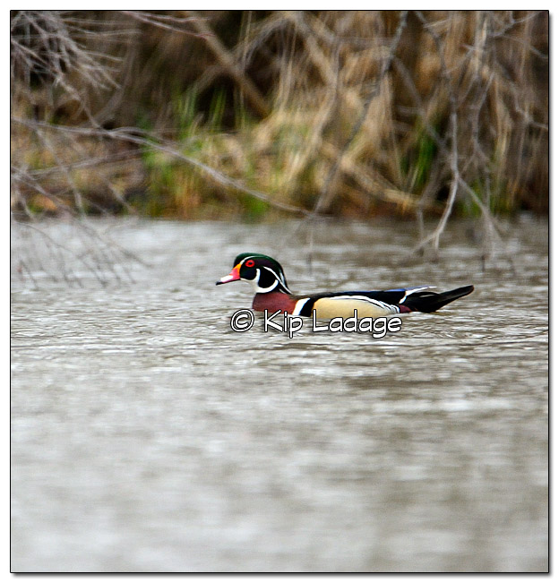 Wood Duck on Wapsipinicon River - Image 367328