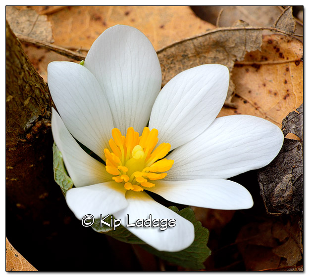 Bloodroot Along Wapsipinicon River - Image 374944