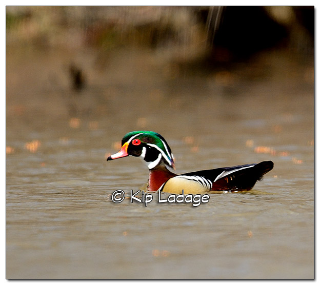 Drake Wood Duck on the Wapsipinicon River - Image 367387