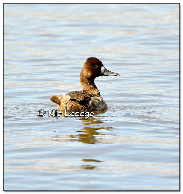 Female Scaup - Image 367539