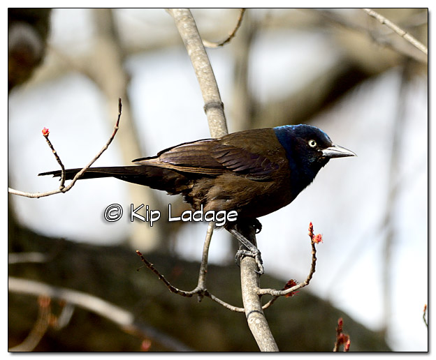 Grackle in Tree - Image 367501