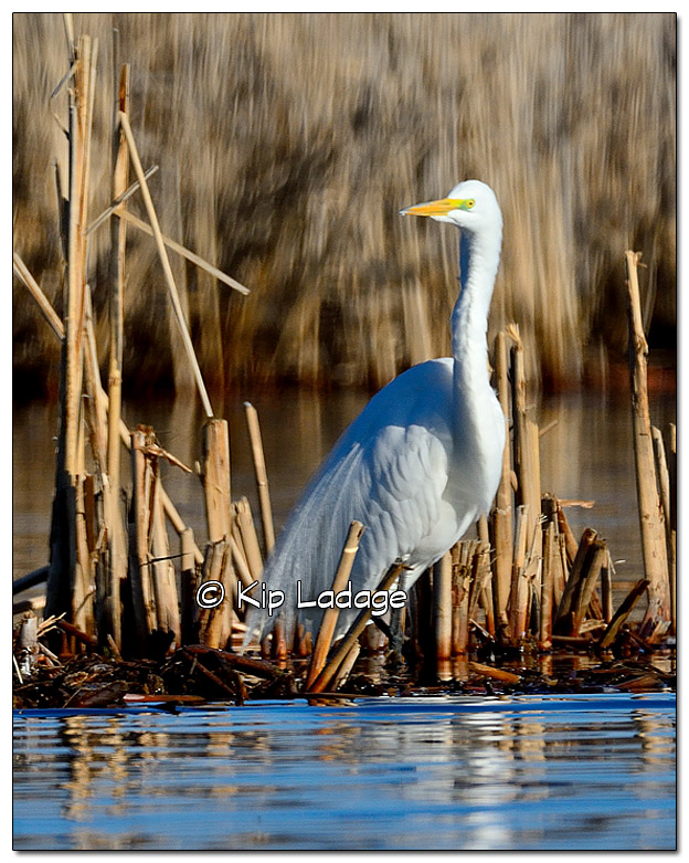 Great Egret at Sweet Marsh - Image 369467