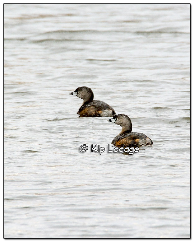 Pied-billed Grebe at Sweet Marsh - Image 367772
