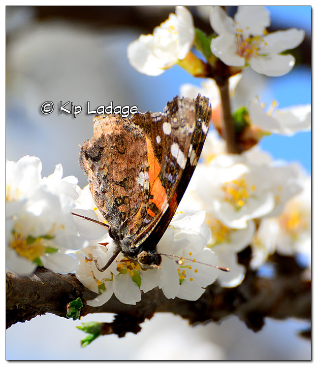 Red Admiral Butterfly on Nanking Cherry Blossom - Image 372087