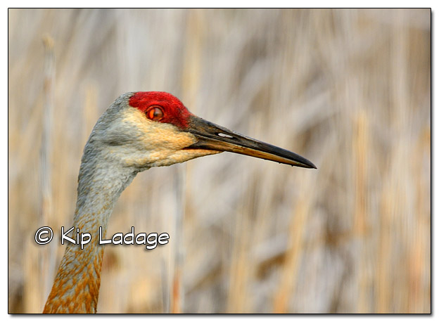 Sandhill Crane at Sweet Marsh - Image 374281