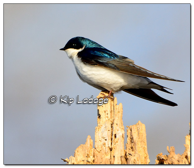 Tree Swallow at Big Woods Lake - Image 368844