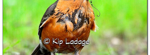 American Robin with Mud - Image 381534