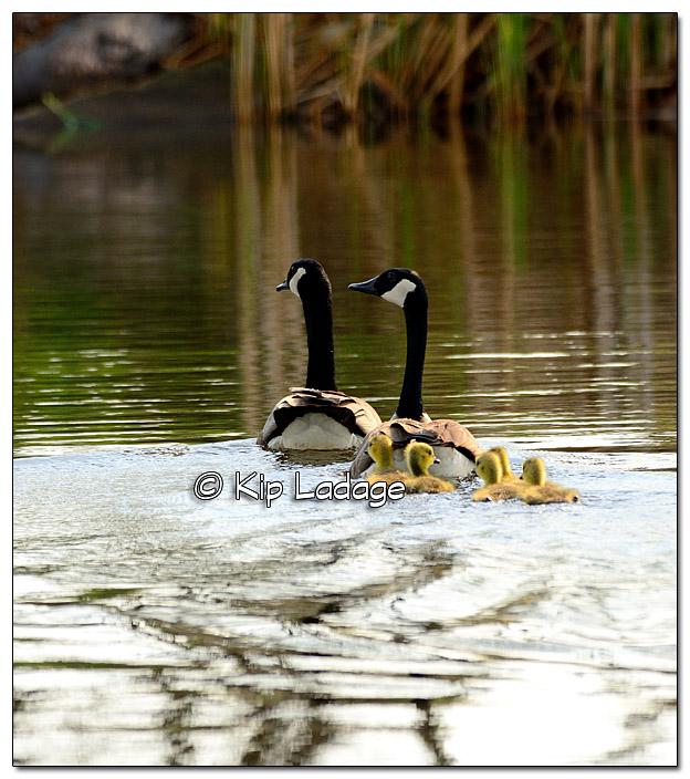 Canada Geese with Goslings at Sweet Marsh - Image 376670
