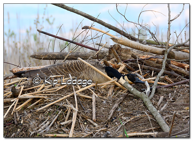 Canada Goose on Beaver Lodge Nest - Image 377637