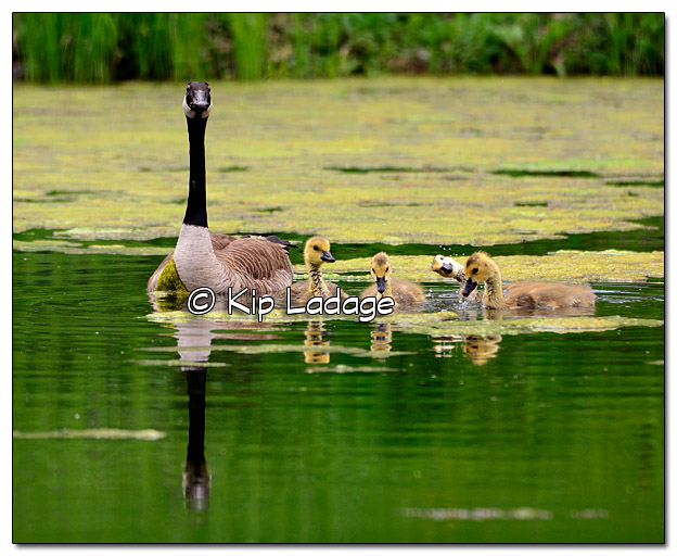 Canada Goose with Goslings - Image 377940