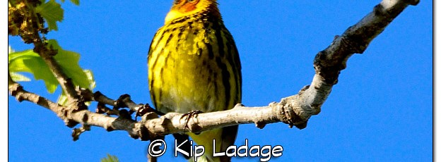 Cape May Warbler - Image 379089