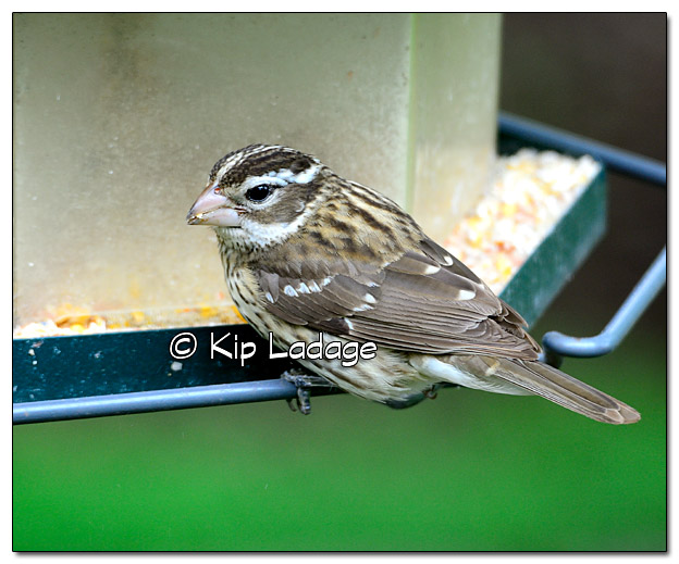 Female Rose-breasted Grosbeak - Image 378953