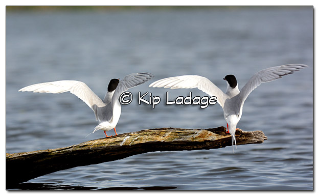 Forster's Terns at Sweet Marsh - Image 378571