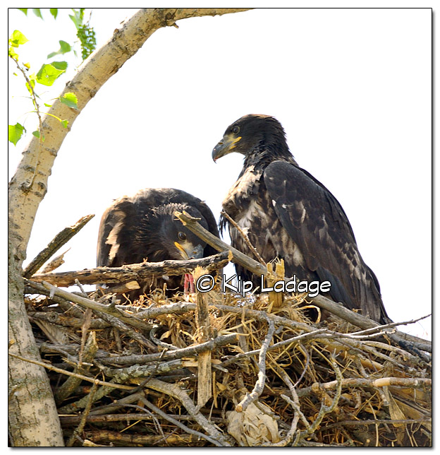 Juvenile Bald Eagles in Nest - Image 380777