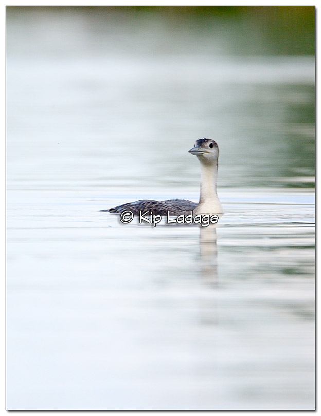 Juvenile Common Loon at Sweet Marsh - Image 377301