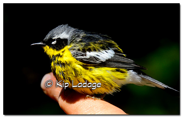 Injured Magnolia Warbler - Image 380162
