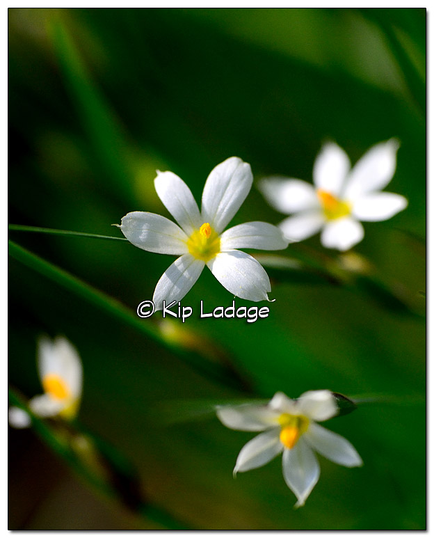 Pointed Blue-eyed Grass - Image 378068