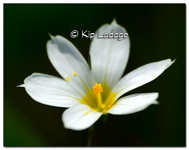 Pointed Blue-eyed Grass - Image 378538