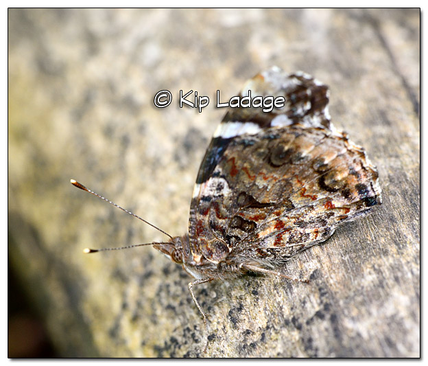 Red Admiral Butterfly at Ingawanis Woodlands - Image 377279