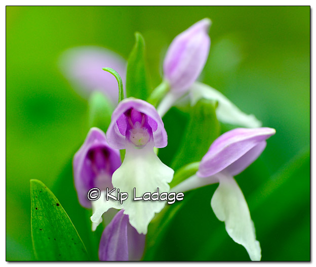 Showy Orchis - Image 378354