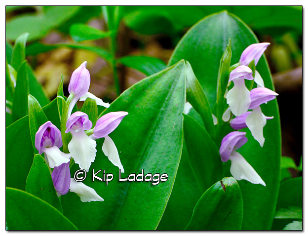 Showy Orchis - Image 378470