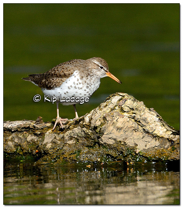 Spotted Sandpiper on Wapsipinicon River - Image 379687