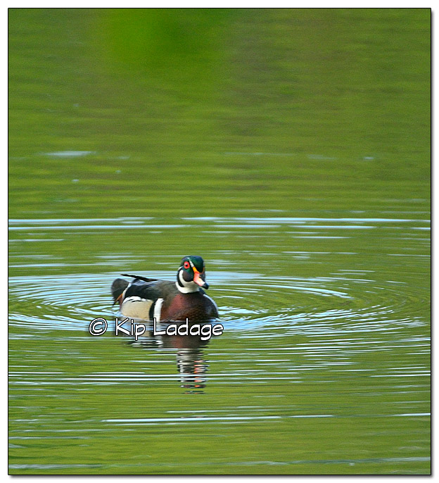Wood Duck Near Nest Box - Image 381133
