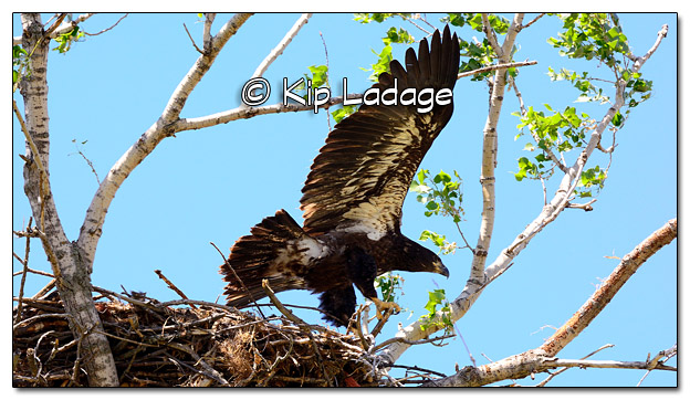 Bald Eagle on Fledge Day - Image 384084
