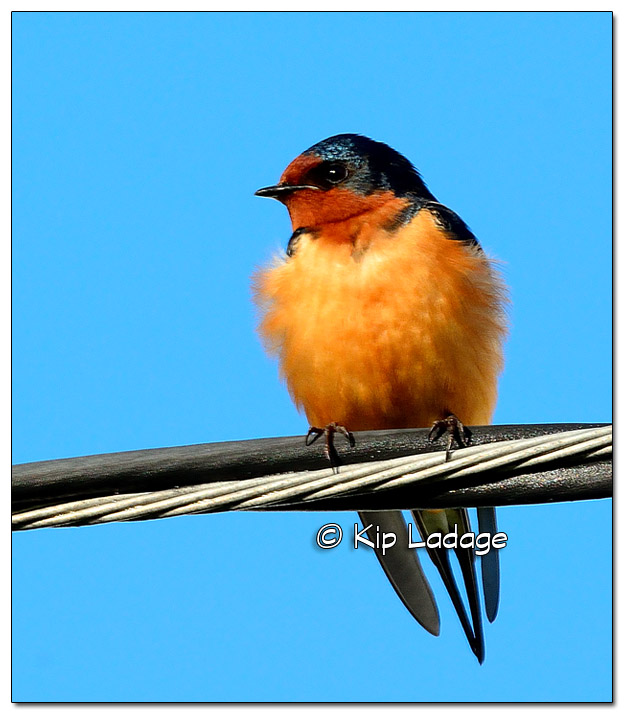 Barn Swallow on Power Line - Image 382319