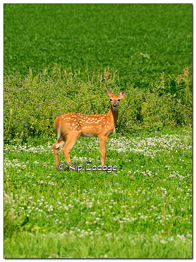 Fawn at Scanlan's - Image 388129