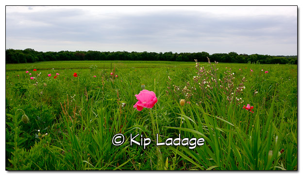 Field of Poppies - Image 384259