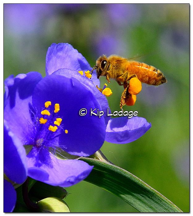 Honey Bee on Spiderwort Blossom - Image 383645