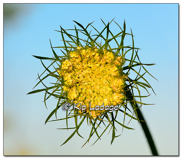 Queen Anne's Lace - Image 388185