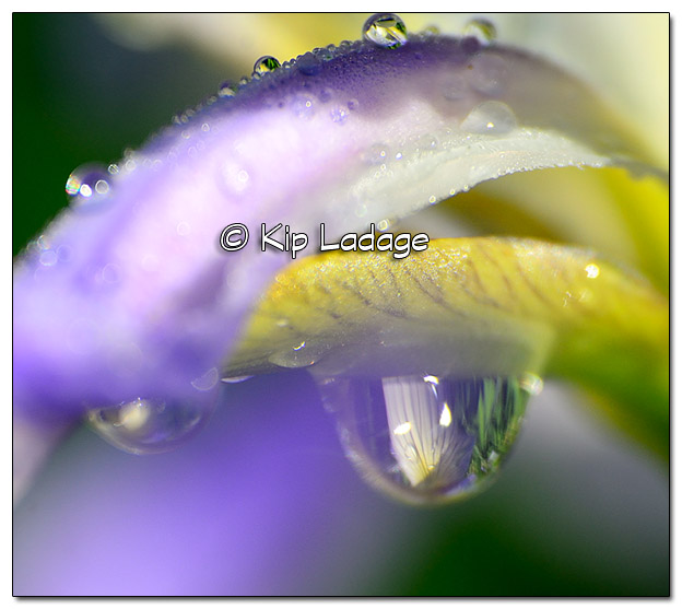 Rain Drop on Blue Flag - Image 383133