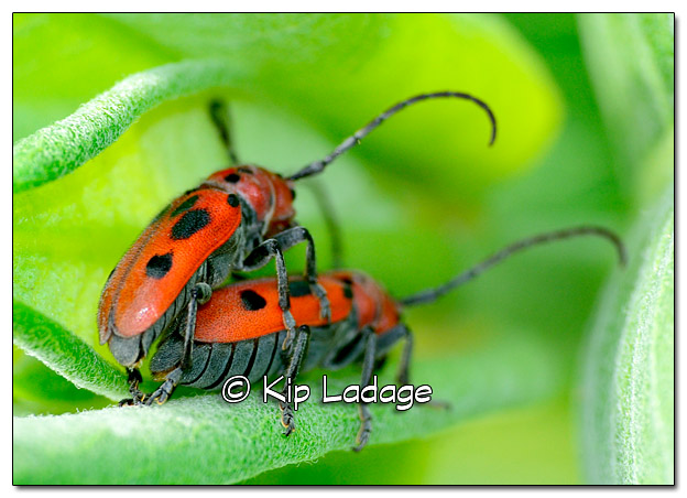 Mating Red Milkweed Beetles - Image 386613