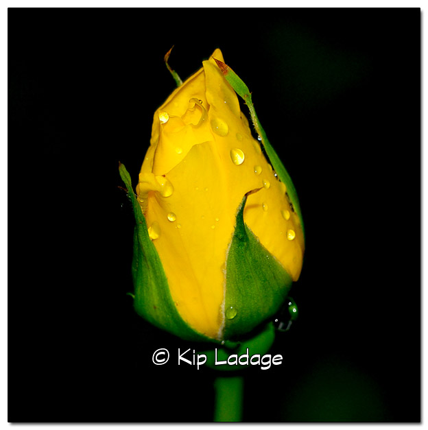 Yellow Rose with Raindrops - Image 385991