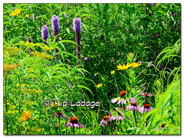 Prairie Wildflowers - Image 389832