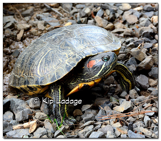 Red-eared Slider Turtle - Image 389540