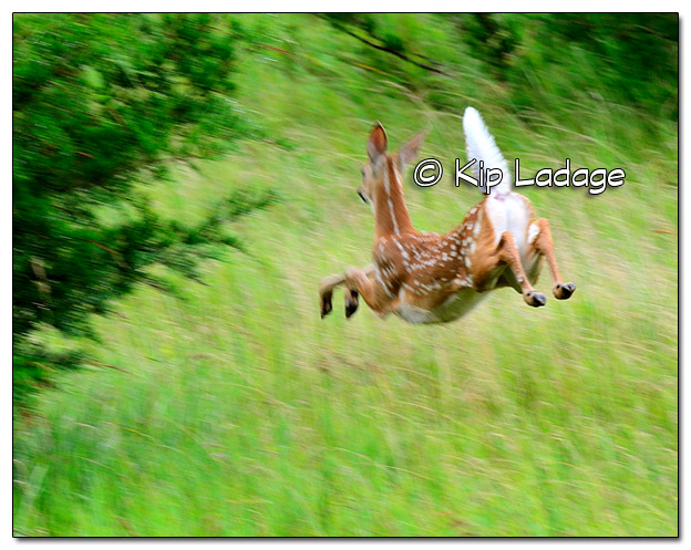 Whitetail Deer Fawn Running - Image 389095