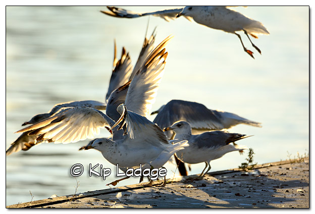 Ring-billed Gulls - Image 392019