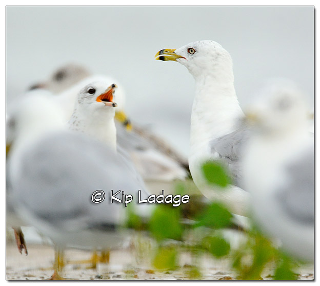 Ring-billed Gulls - Image 391926