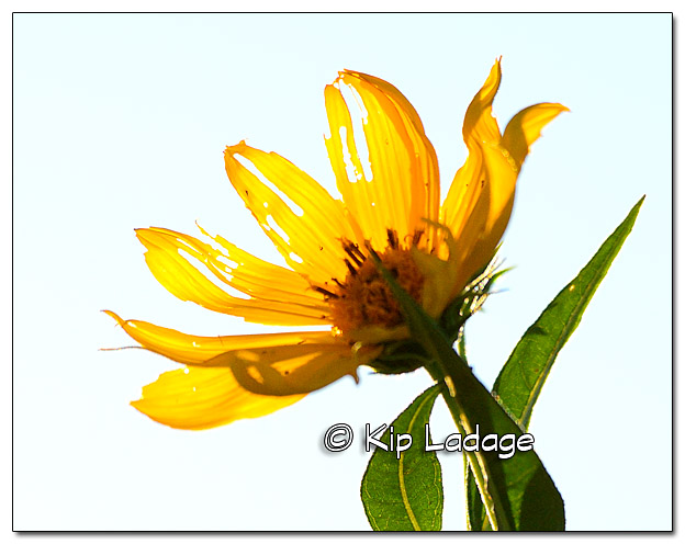 Sunflower - Image 393604
