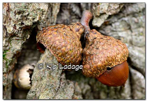 Acorn On Oak Tree - Image 399321