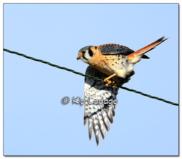 American Kestrel on Power Line - Image 399632